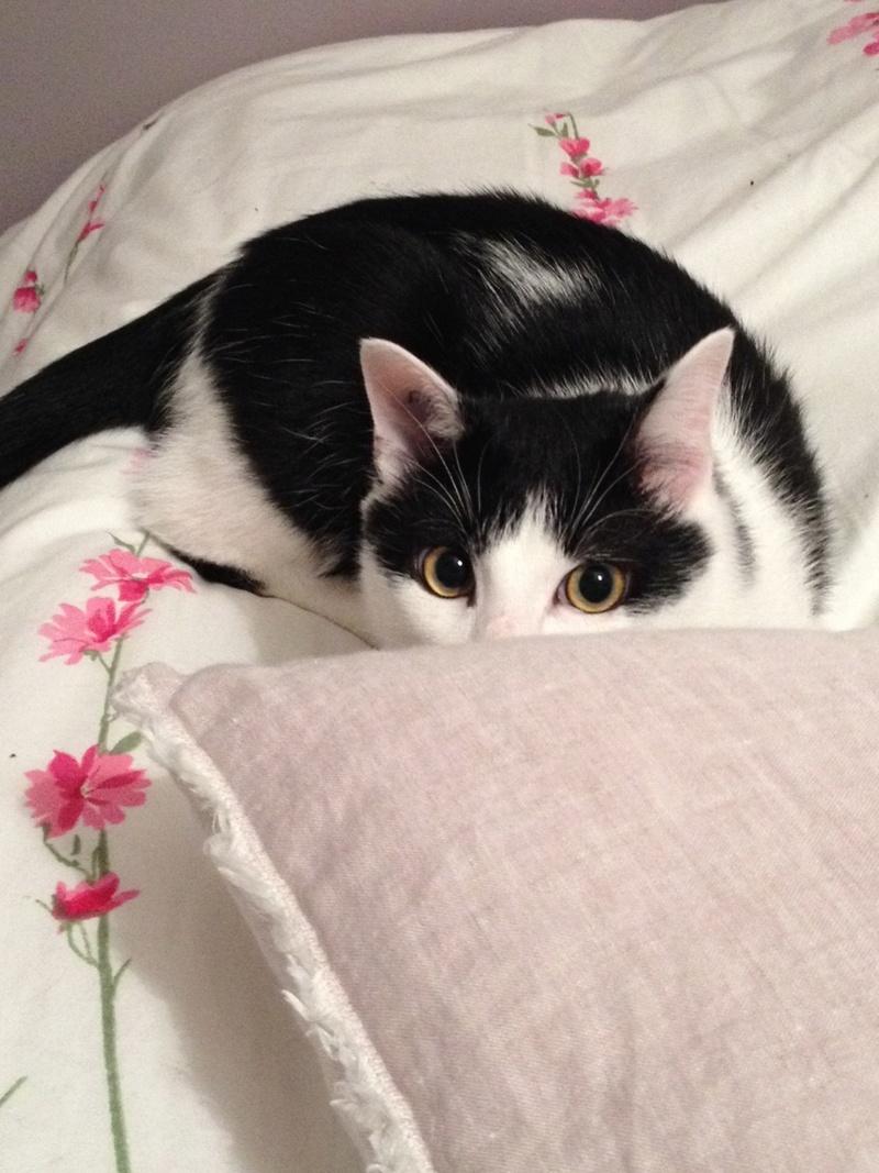 Obéron, chaton européen noir et blanc, né le 10/05/2018 2423d510