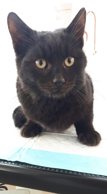 SULTAN - magnifique chat mâle, né en juillet 2018  (PASCANI) - ADOPTE EN ROUMANIE 47357510