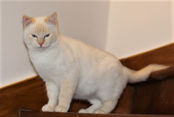 Mimoun mâle red point chat de maison 01/11/2016 Img_6710