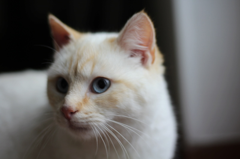 Mimoun mâle red point chat de maison 01/11/2016 Img_6712