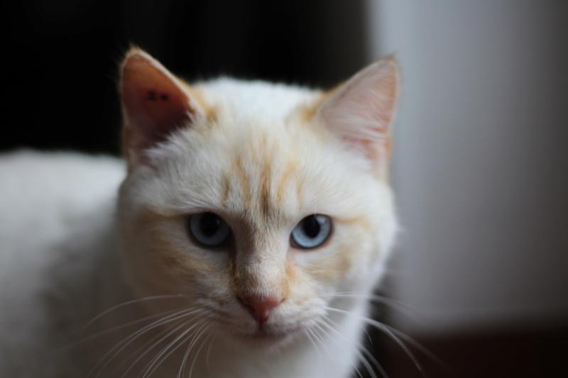 Mimoun mâle red point chat de maison 01/11/2016 Img_6713