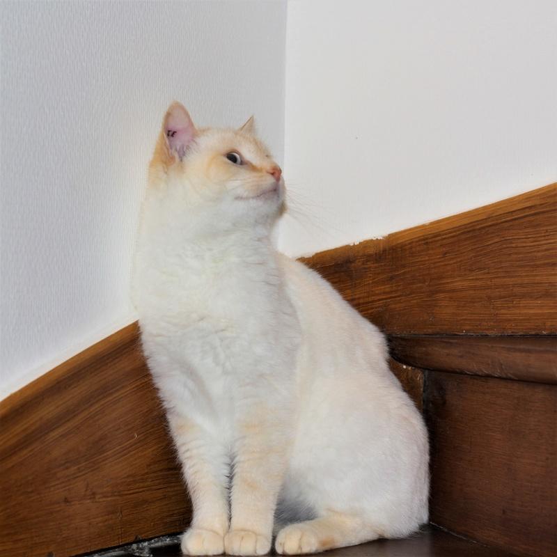 Mimoun mâle red point chat de maison 01/11/2016 Img_6714