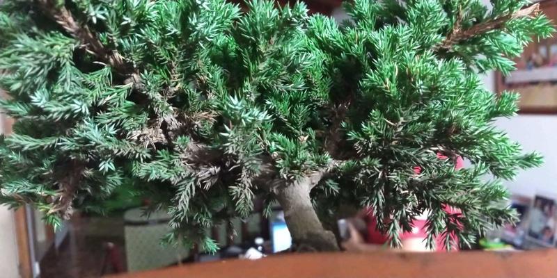 Algunas hojas del bonsai se están poniendo cafés!! Receiv12