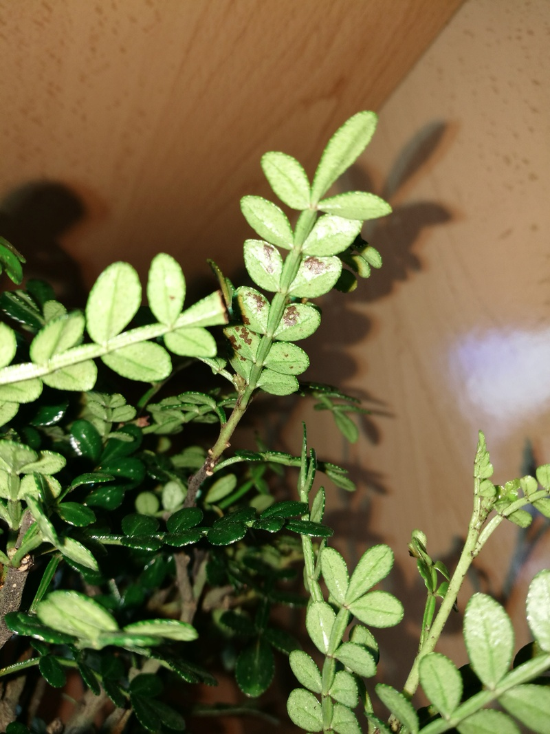 ayuda!! bonsai operculicarya Img_2012