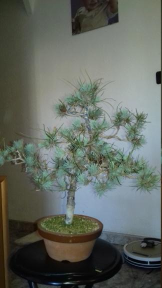 Pinus Pinea Silver Crest 8_abri11