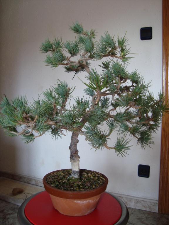 Pinus Pinea Silver Crest 9_dici12