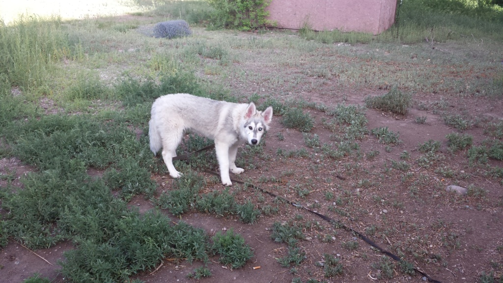 What Colour Is My husky pup 20150712