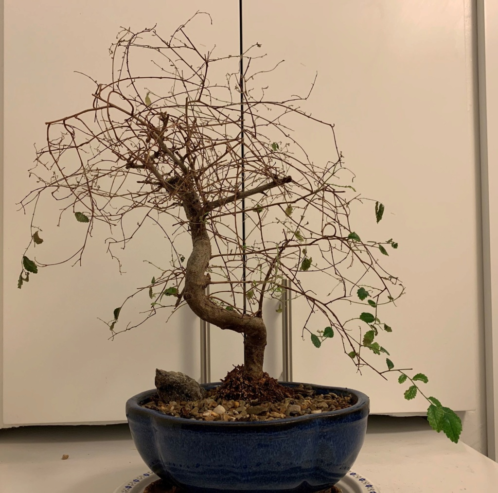 Chinese elm is dying, need help! 1111110
