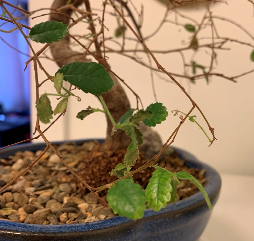 Chinese elm is dying, need help! 2222210