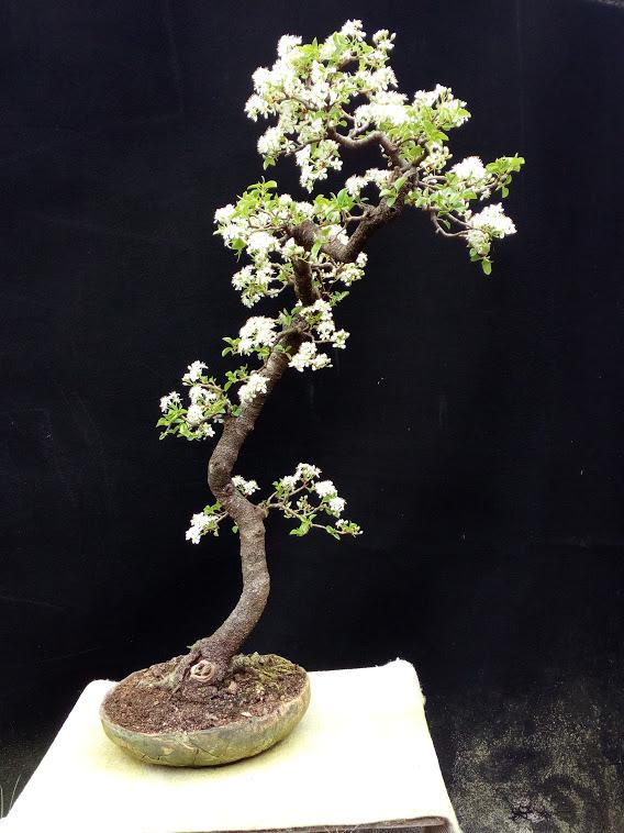 Cerisier de Sainte Lucie Img_2186