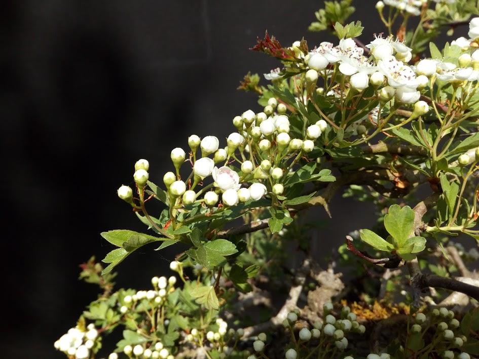 Nouvelle floraison de cette aubépine Img_2204