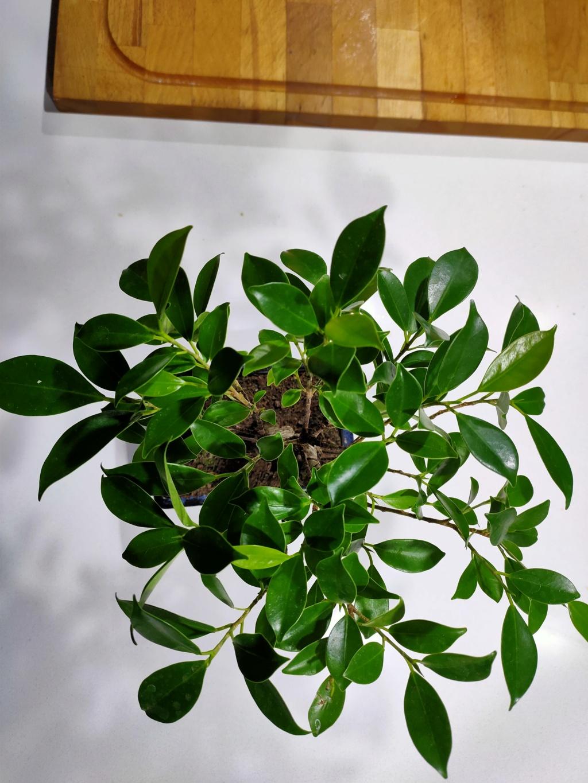Bonsai ficus retusa  Img20236