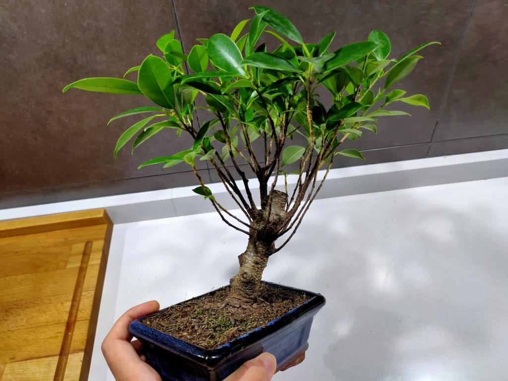 Bonsai ficus retusa  Img20237