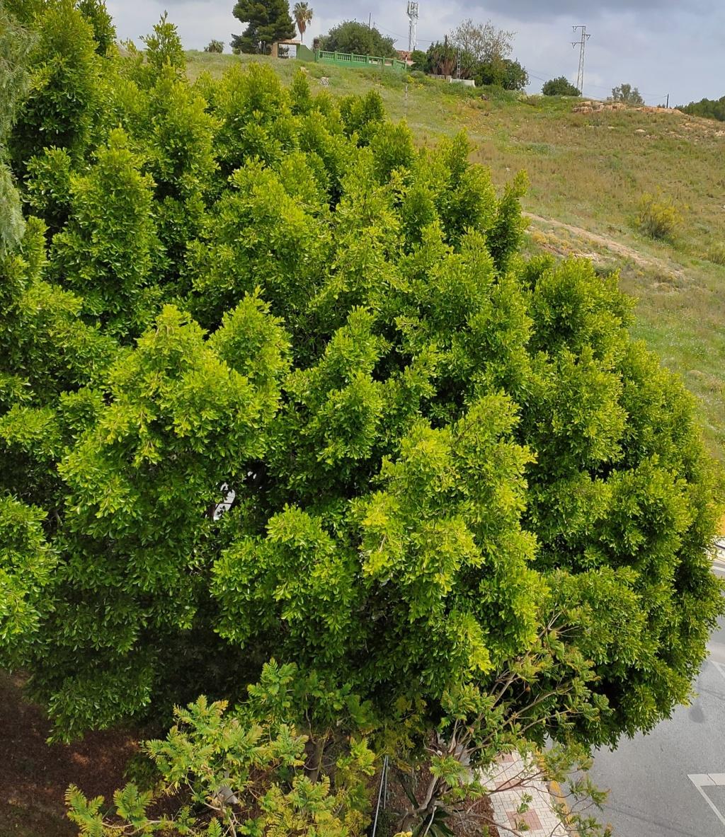 Bonsai Ficus Retusa Img_2035