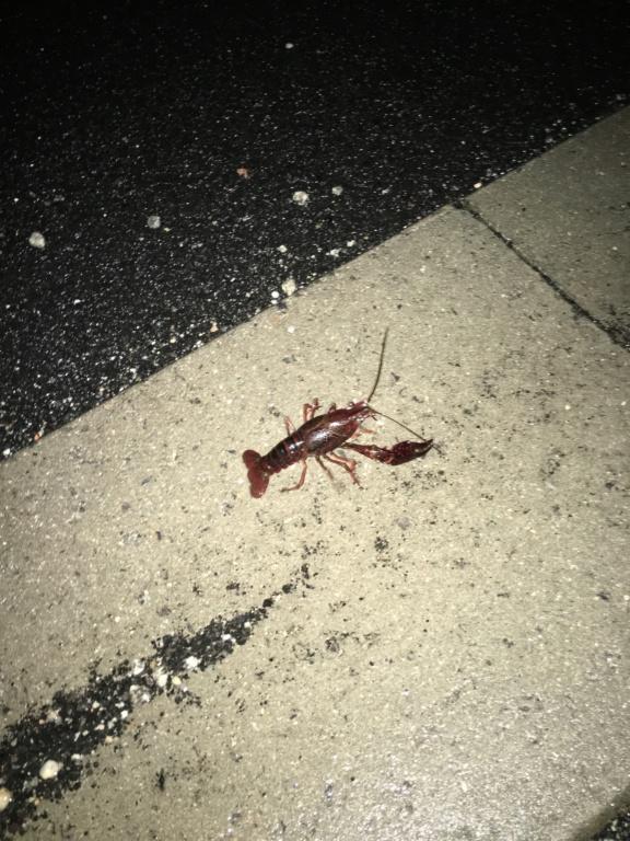 [Decapoda - cf. Procambarus clarkii] Qui suis-je? 5071e010