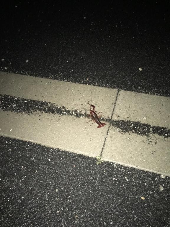 [Decapoda - cf. Procambarus clarkii] Qui suis-je? Cd283810