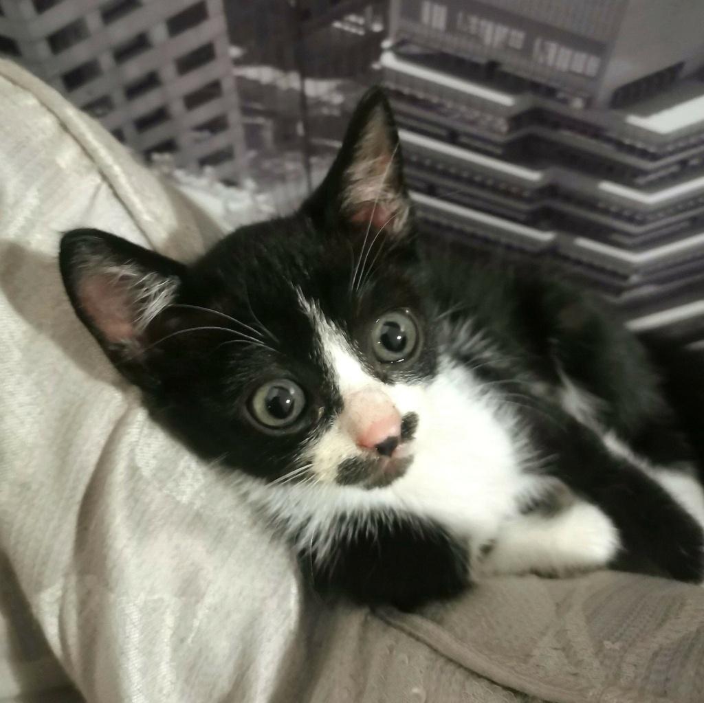 SKY, chatte femelle noire et blanche d'à peine 2 mois environ 116