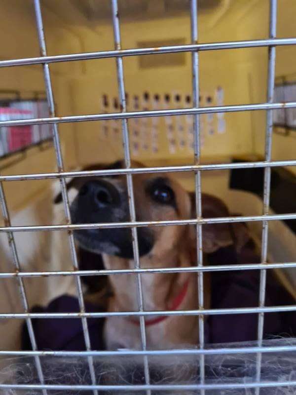 TWILLY, jeune chienne d'à peine 1 an, environ 10 kg - Marrainée par Muriel 13937610