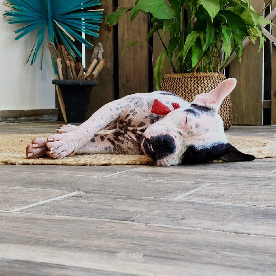 BOULIE, jeune chienne femelle blanche et noire de 10 mois environ pour 12 kg - Marrainée par Régine 13943810