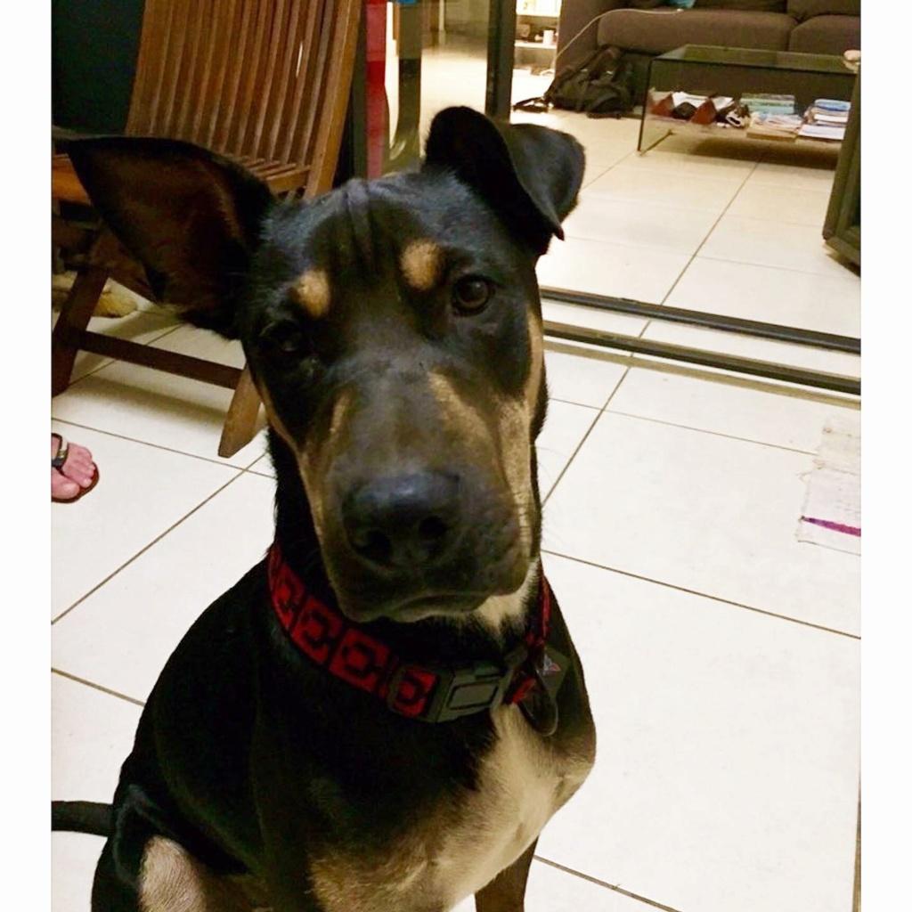 WELCOME, chien mâle Noir et Feu d'environ 10 mois pour 18 kg 14017510