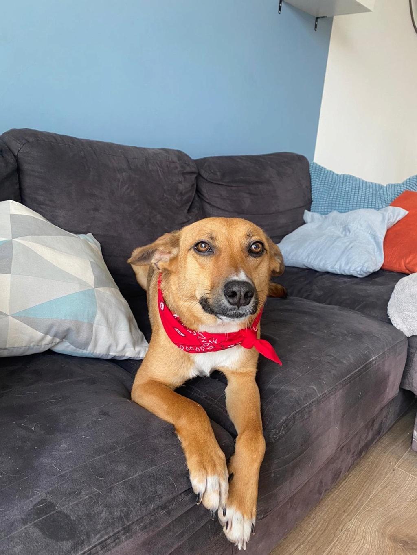 RIO / ASTRAL, chien mâle marron et blanc de 2 ans - Marrainé par Cécilia - Réservé par Prune 15635311