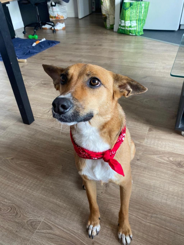 RIO / ASTRAL, chien mâle marron et blanc de 2 ans - Marrainé par Cécilia - Réservé par Prune 15638710