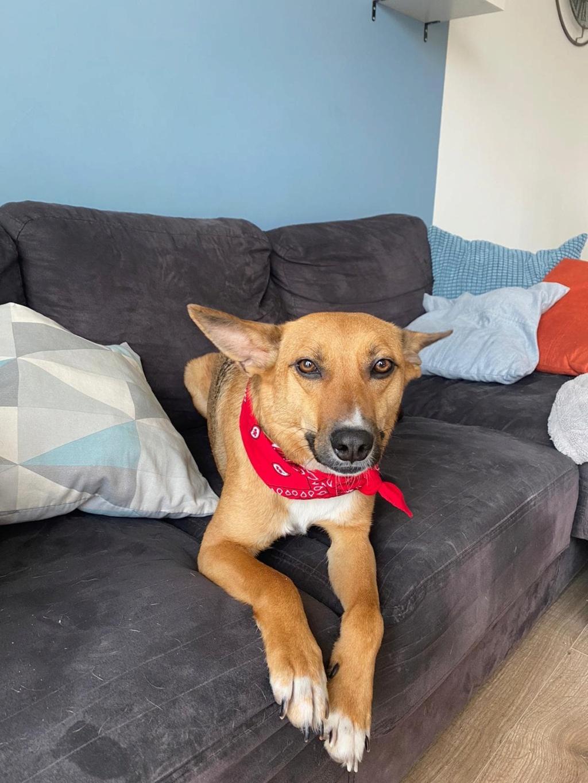 RIO / ASTRAL, chien mâle marron et blanc de 2 ans - Marrainé par Cécilia - Réservé par Prune 15639710