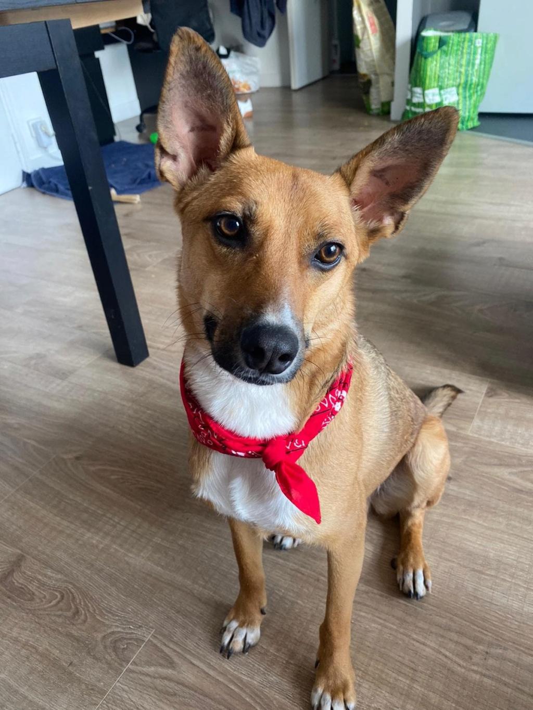 RIO / ASTRAL, chien mâle marron et blanc de 2 ans - Marrainé par Cécilia - Réservé par Prune 15645810