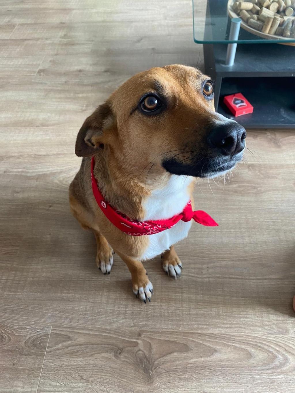 RIO / ASTRAL, chien mâle marron et blanc de 2 ans - Marrainé par Cécilia - Réservé par Prune 15665710