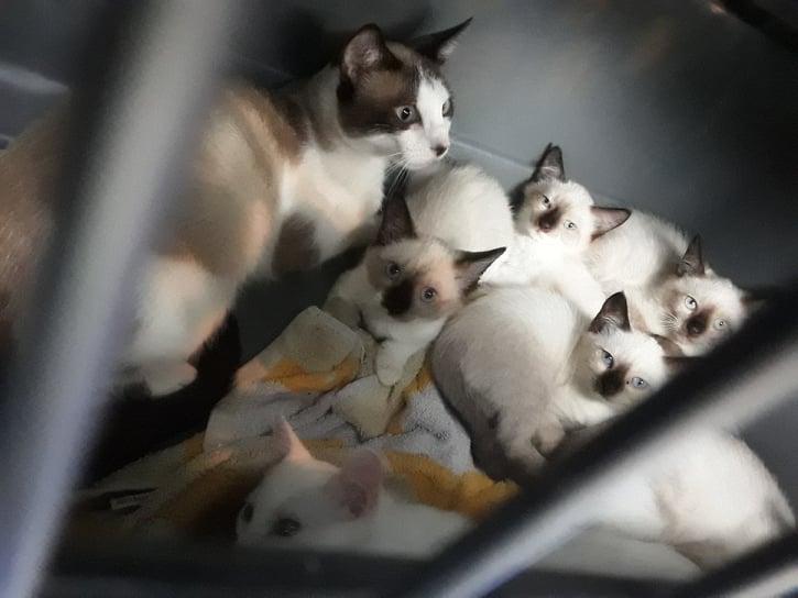 News du 20 mars 2021 - 5 chatons femelles typées siamois et 1 mâle blanc en cours de sociabilisation 15674611