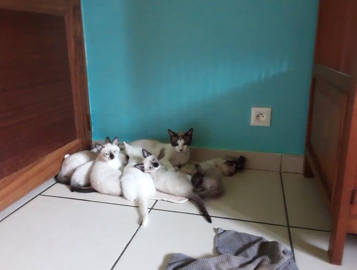 News du 20 mars 2021 - 5 chatons femelles typées siamois et 1 mâle blanc en cours de sociabilisation 16204411