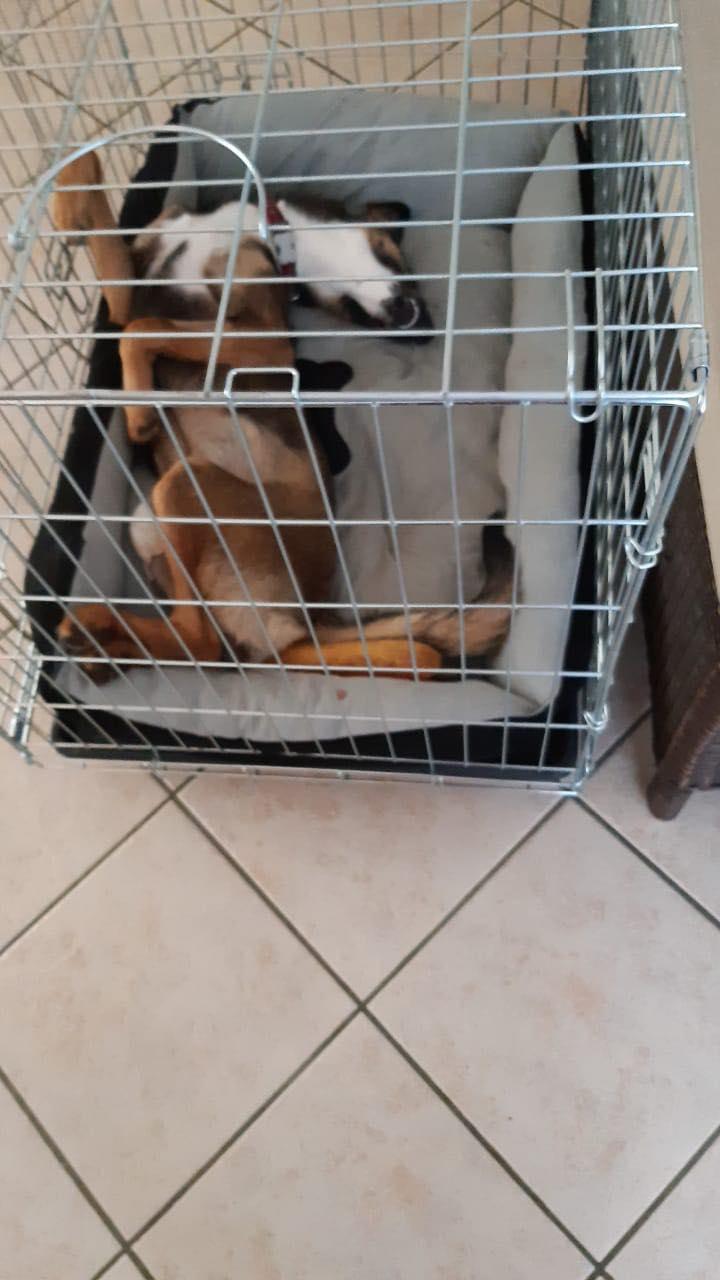 LAGOON, jeune chienne femelle d'environ 7 mois - Marrainée par Pat84 - Réservée par Karine 16761310