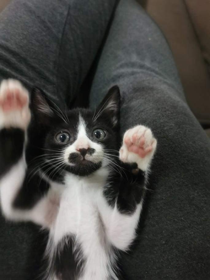 SKY, chatte femelle noire et blanche d'à peine 2 mois environ 17025510