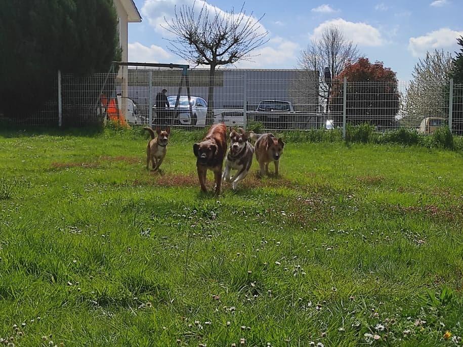 RIO / ASTRAL, chien mâle marron et blanc de 2 ans - Marrainé par Cécilia - Réservé par Prune 17444410