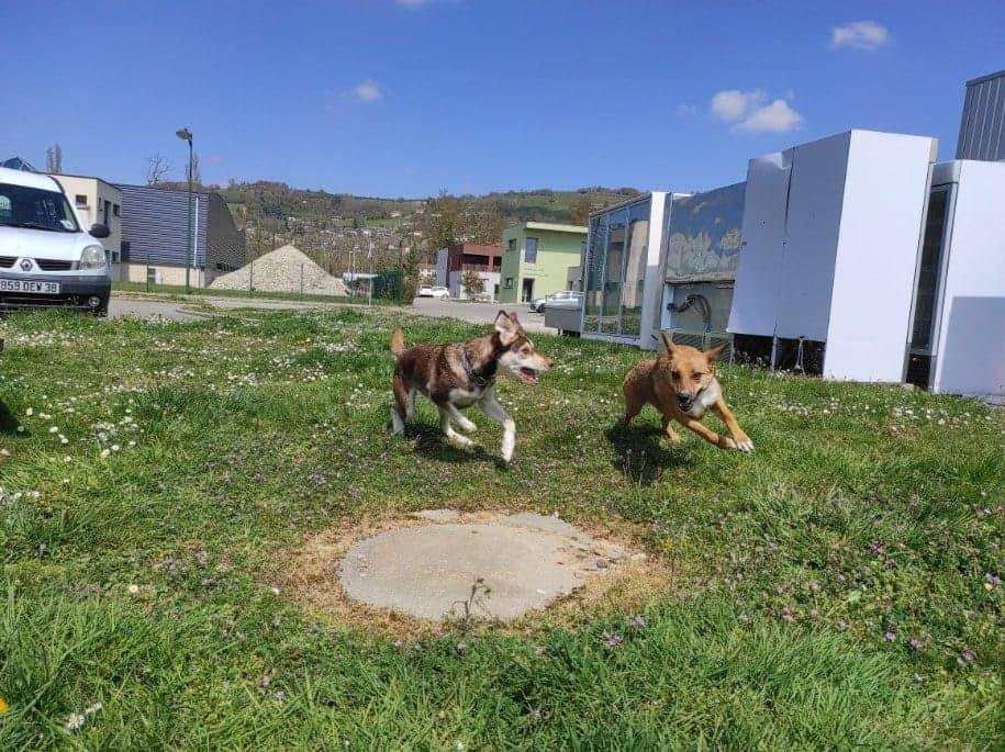 RIO / ASTRAL, chien mâle marron et blanc de 2 ans - Marrainé par Cécilia - Réservé par Prune 17518211