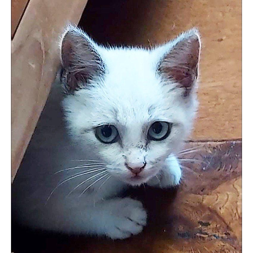 MIA, chaton femelle seal point de 2 mois - Réservée par Gwendoline 17977510