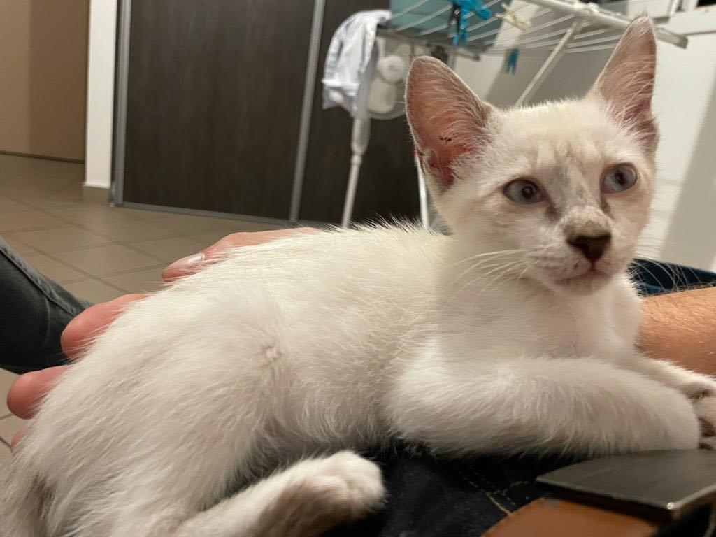 BADOU, chaton mâle seal point de 6 semaines environ - Réservé par Nathalie et sa famille 18068710