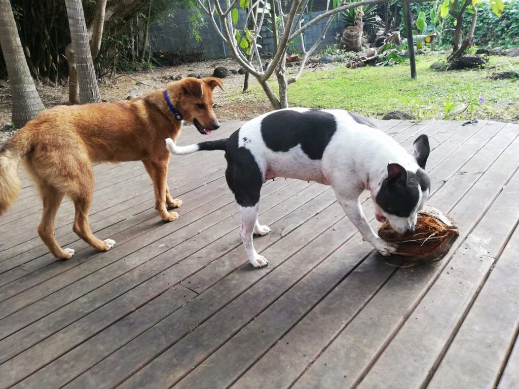 MAHOT, jeune chien mâle fauve de 1 an (né le 15/05/2020)-13 kg - Réservé par Noémie 18104910