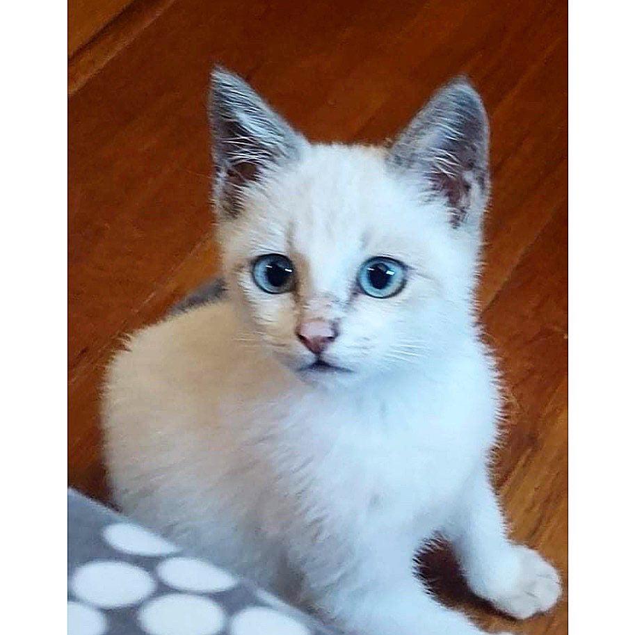 MIA, chaton femelle seal point de 2 mois - Réservée par Gwendoline 18111110
