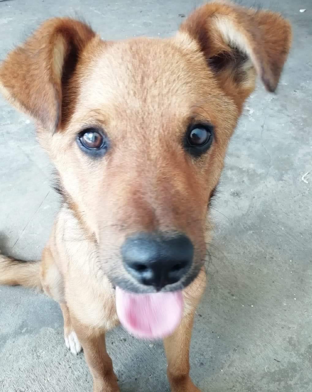 MAHOT, jeune chien mâle fauve de 1 an (né le 15/05/2020)-13 kg - Réservé par Noémie 18154310