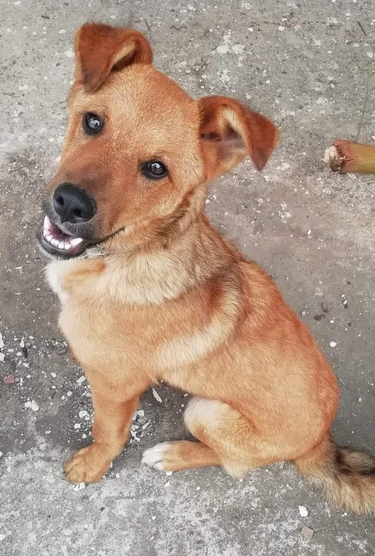 MAHOT, jeune chien mâle fauve de 1 an (né le 15/05/2020)-13 kg - Réservé par Noémie 18198410