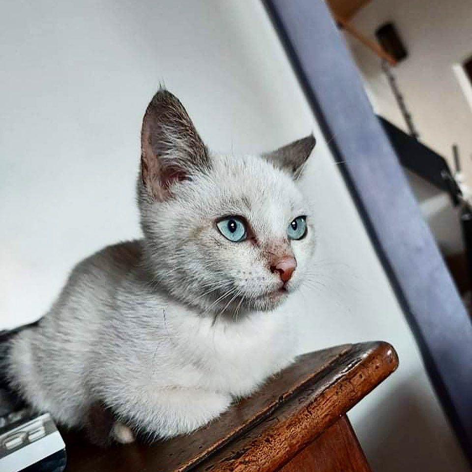 MIA, chaton femelle seal point de 2 mois - Réservée par Gwendoline 18266410