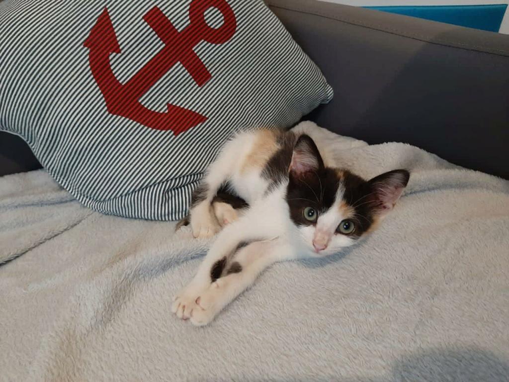 POUPY, chaton femelle tricolore de 6 semaines environ - Réservée à Virginia 18281710