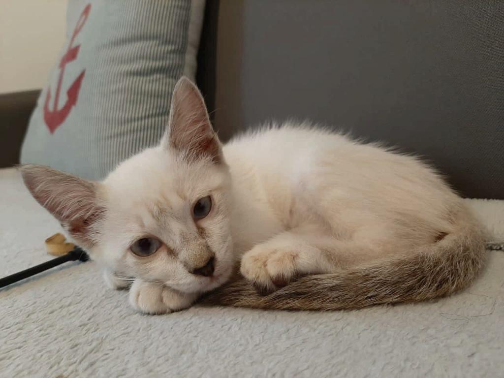 BADOU, chaton mâle seal point de 6 semaines environ - Réservé par Nathalie et sa famille 18364310