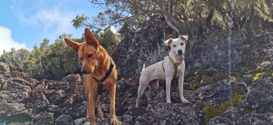 YARI, jolie chienne blanche 1 an (née le 01/06/2020) - 13 kg - Marrainée par Pat84 18802010