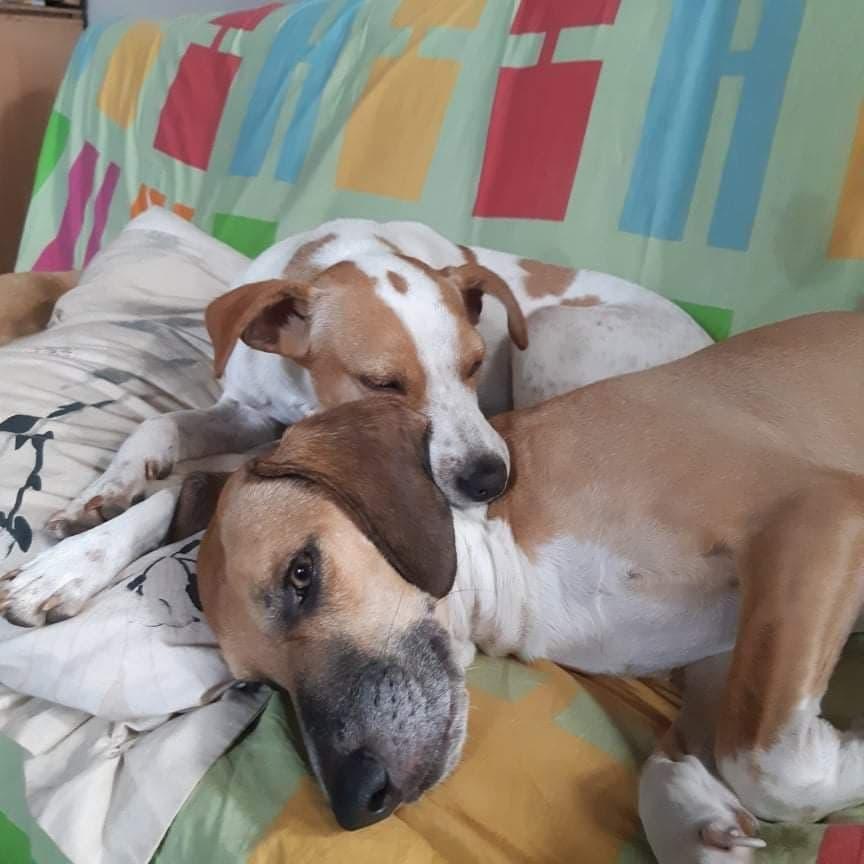 STOPY, chien mâle blanc et marron de 2 ans -Marrainé par Muriel (Phoemo)-Réservé par Valérie 19008910