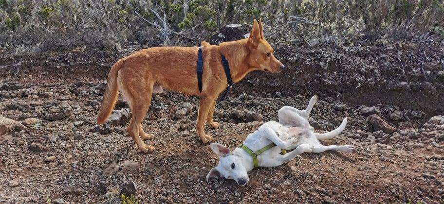 YARI, jolie chienne blanche 1 an (née le 01/06/2020) - 13 kg - Marrainée par Pat84 19008911