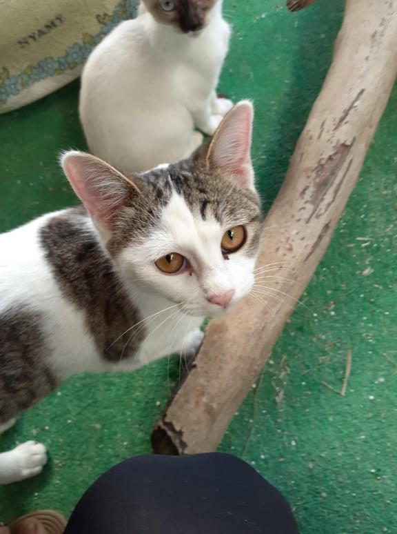 BILBO chaton mâle tigré et blanc 4 mois, né le 07/01/2021 19022110