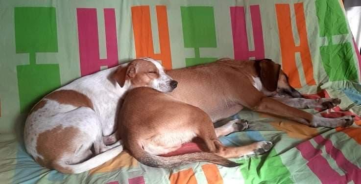 STOPY, chien mâle blanc et marron de 2 ans -Marrainé par Muriel (Phoemo)-Réservé par Valérie 19055910