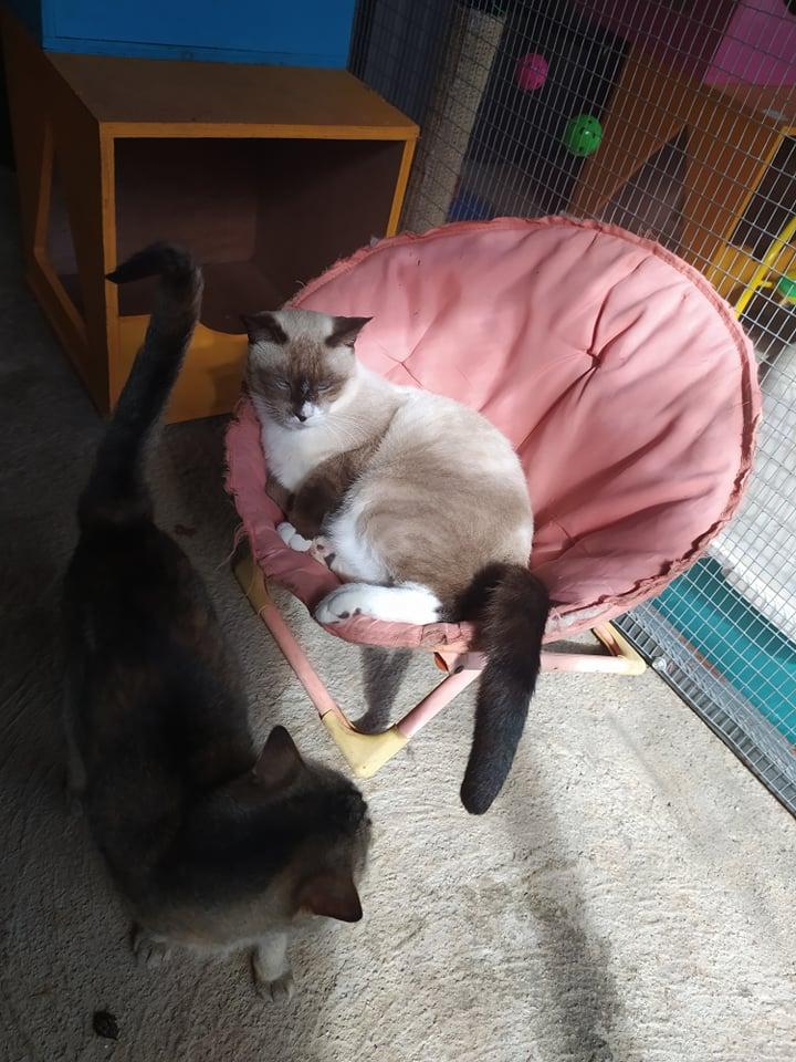 CAPUCCINO, chat mâle typé siamois de 7 ans 19078110